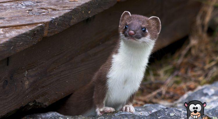 Natürliche Feinde von Maulwurf und Wühlmaus Hermelin