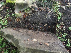 Nacktschnecken unter Steinplatte