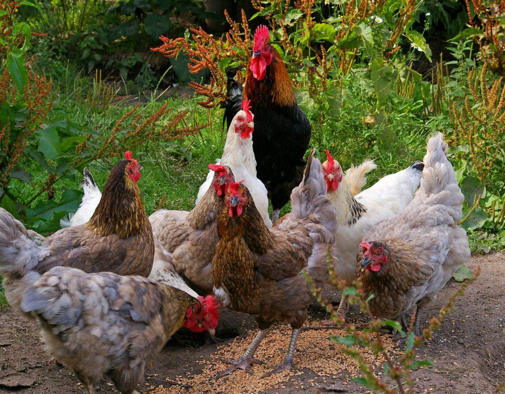 Hühnerfütterung mit Körnerfutter