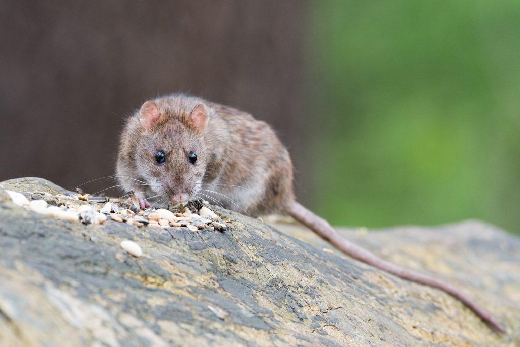 Ratte Futter Wanderratte