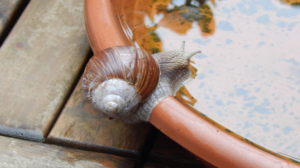 Schnecke auf Untersetzer mit Wasser gefüllt
