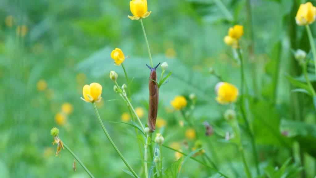 Schnecke an Blume
