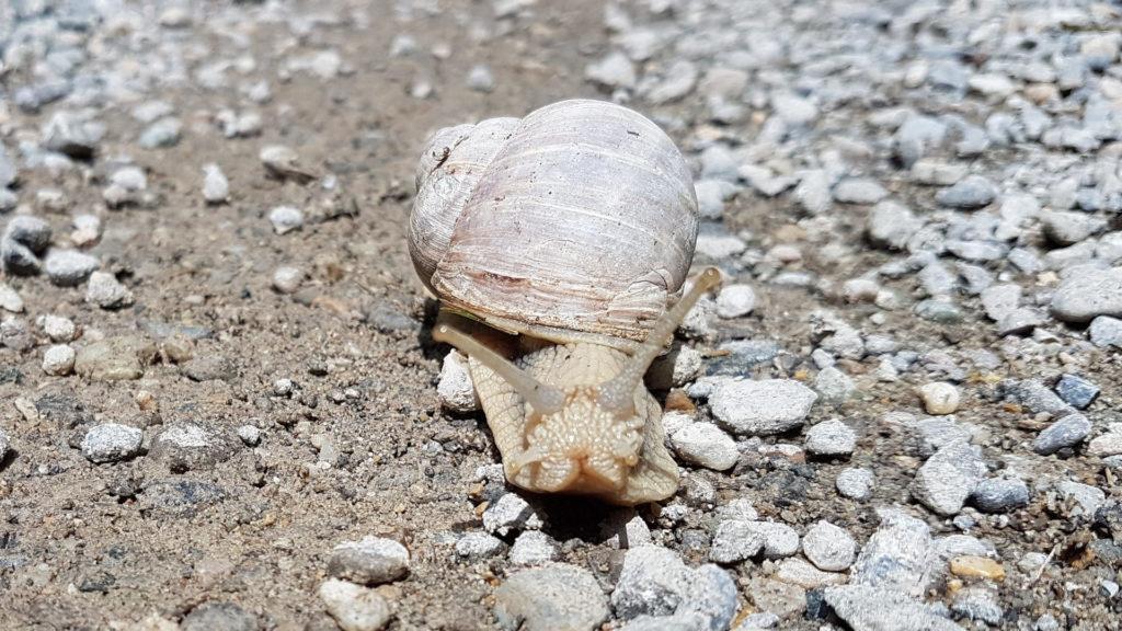 Weinbergschnecke auf Sand