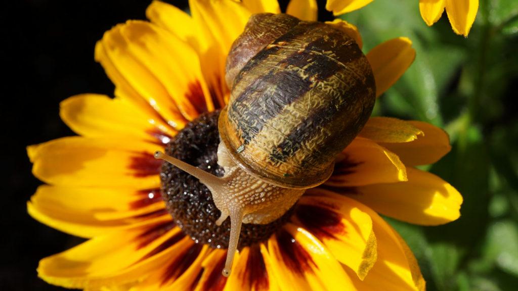 Weinbergschnecke auf gelber Blume.