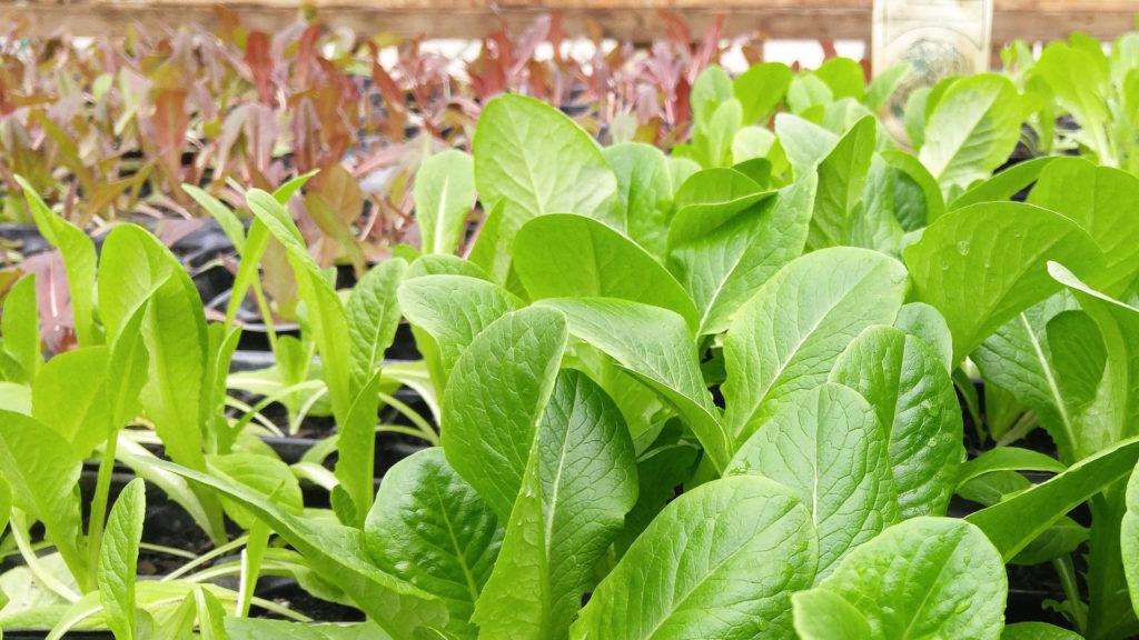 Salat Vorzucht