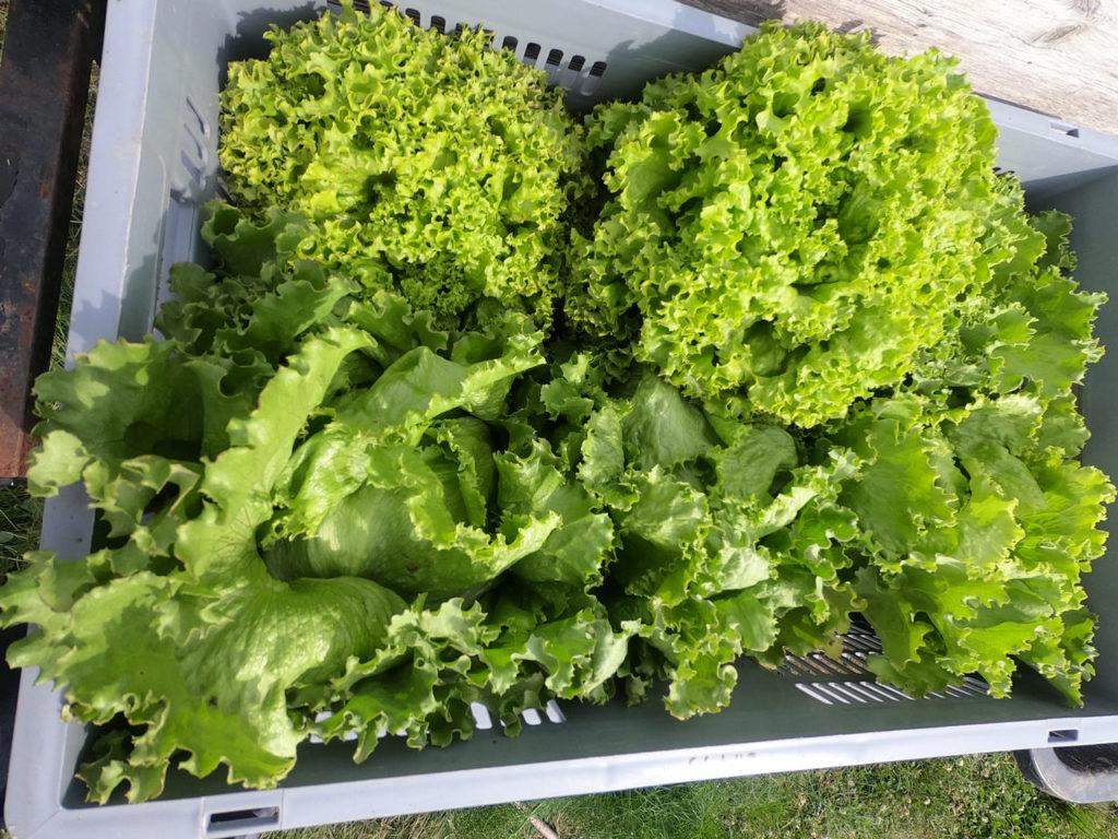 Salaternte im Garten
