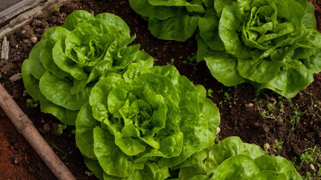 Salatköpfe reif