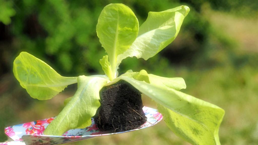 Salat im Garten pflanzen