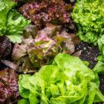 Salat schneckensicher anbauen: Vom Korn zum Kopf | Anleitung, Tipps & Tricks