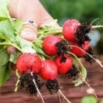 Radieschen anbauen: Vom Saatkorn zur fertigen Knolle | Anbau 1x1