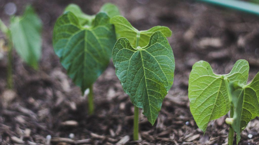 Junge Buschbohnenpflanzen