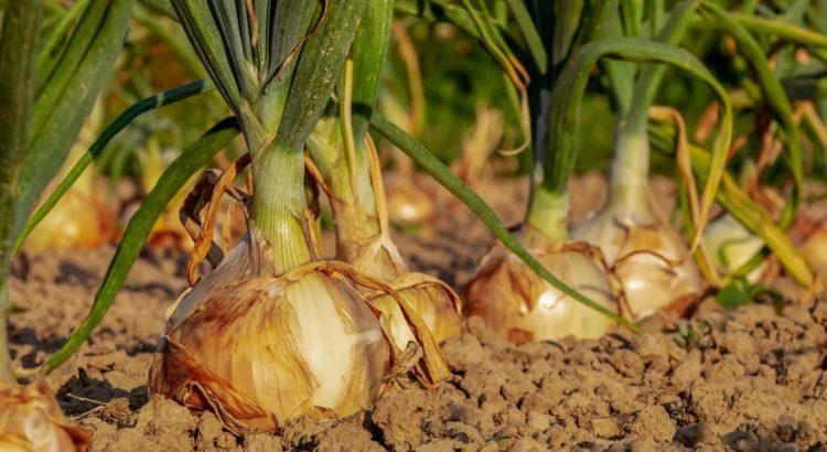 Zwiebelanbau im Garten - Steckzwiebeln